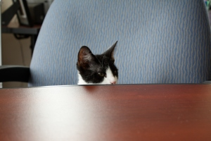 Black and white kitten sitting on an office chair pulled up to a desk, visible from the ching up.
